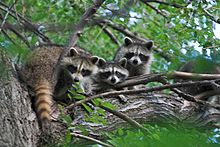 220px-Raccons_in_a_tree